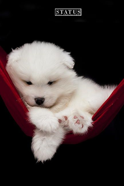 Samoyed Puppy Baby Dogs Cute Dogs Puppies