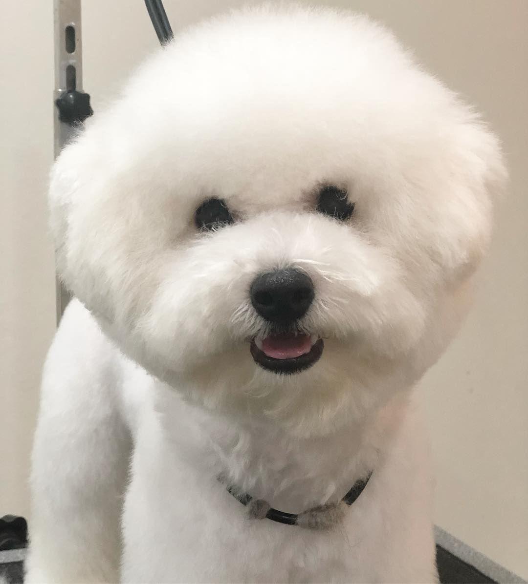 Bishon Puppy Bishon Puppy Pet Groomer Pets Groomer Tools