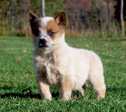 Heeler Herding Sired Pups for Sale For more
