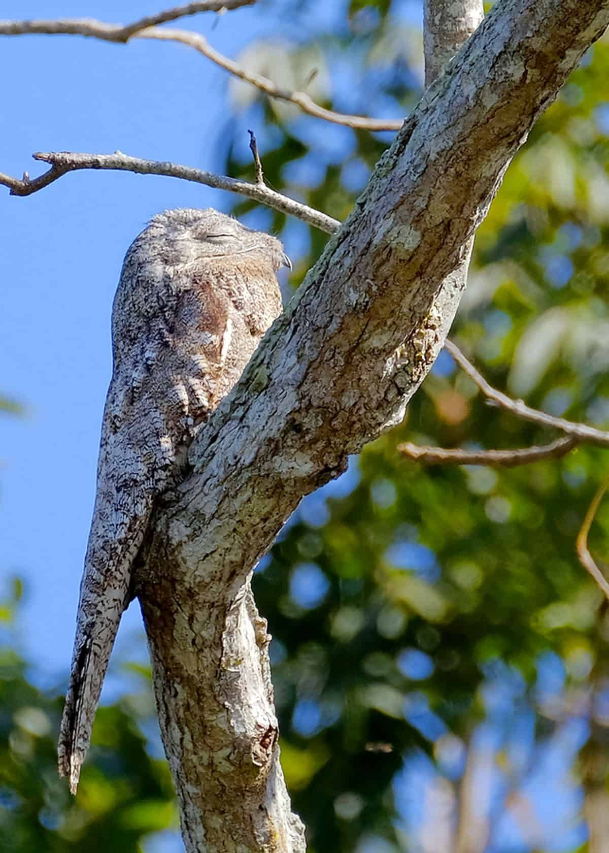 31 Great Potoo Facts (Yes, They're Real!) Ultimate Guide