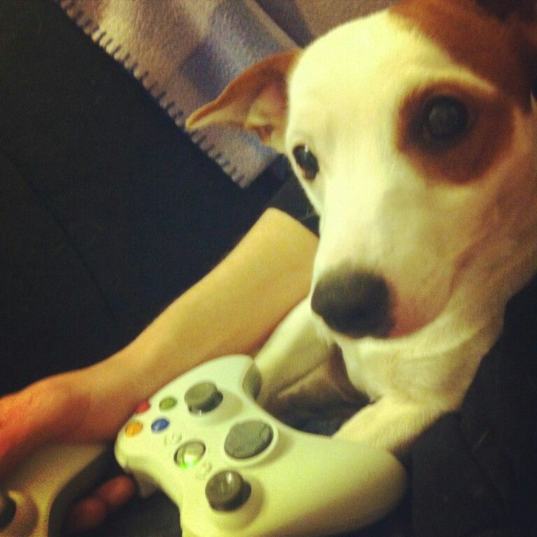 gamer dog oscar the jack russell xbox for the love of dogs