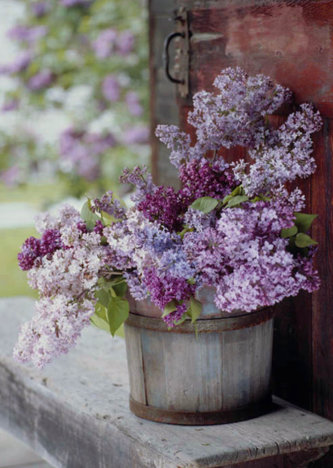 How to grow lilacs in a mild climate... 1 - Winter chilling hours are important...2000 hours 2 - Need some shade 3 - Soil pH of 7: add lime 4 - Varieties:  Angel White California Rose - pink Lavender Lady Esther Staley - pink Excel - light lavender Miss Kim - lavender