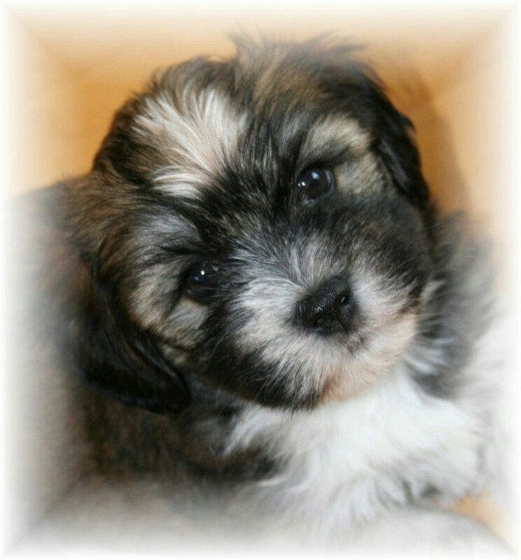 Havanese puppy 'Beertje' - photo made by Anne-Fieke Later