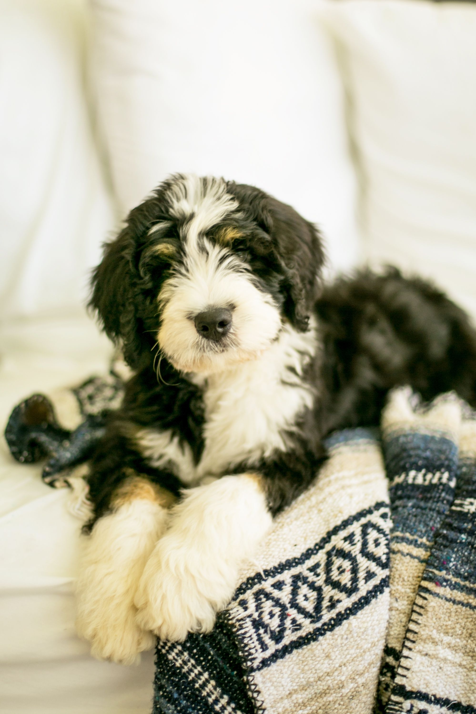 Sheepadoodle puppies for sale charlotte nc