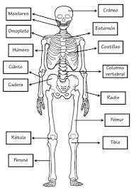 Resultado De Imagen Para Sistema Oseo Para Niñ Huesos Del Cuerpo Humano Cuerpo Humano Para Niños Actividades Del Cuerpo Humano