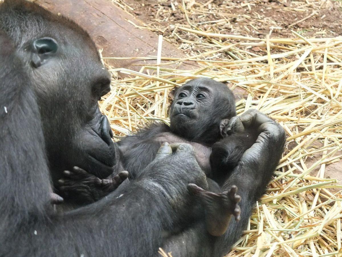 Fotogalerie Grafiken über Tierkinder Einige Grafiken über Tierkinder wie: Elefanten:Elefanten Baby Tiere Säugetiere Schwimmen Wasser Gorilla:Gorilla Baby Zoo Affe Menschenaffe Tiere Grizzlybär:Griz...