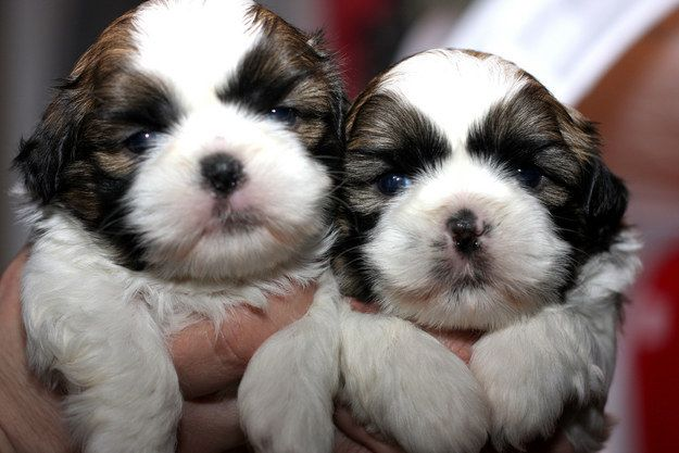 30 Photos That Will Make You Say Awww Shih Tzu Puppy Shih Tzu Cute Puppies