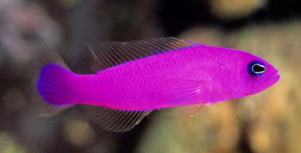 Pink saltwater fish bright colored freshwater fish for Pink saltwater fish