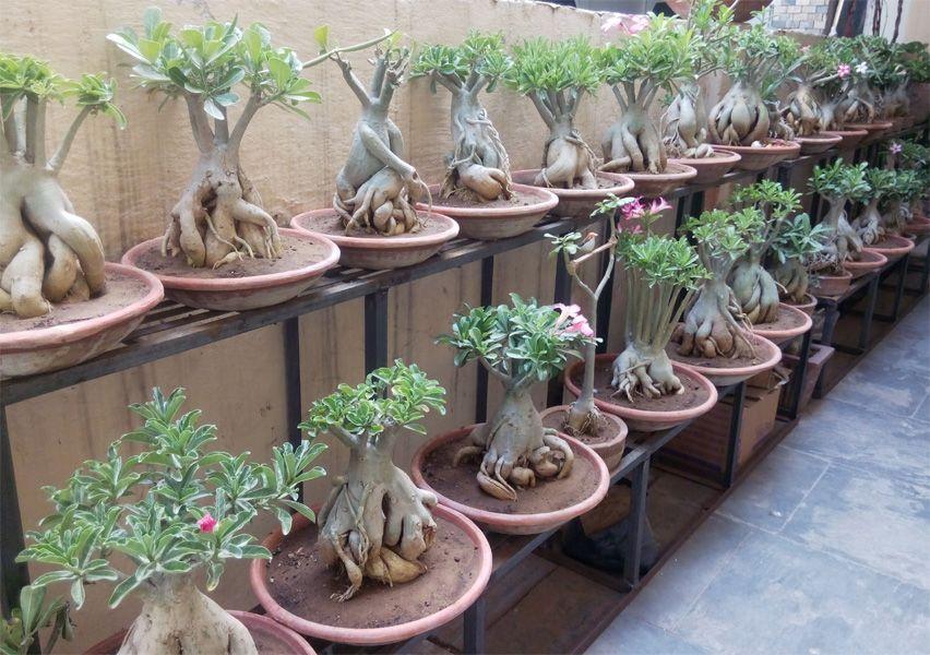 how to make adenium bonsai