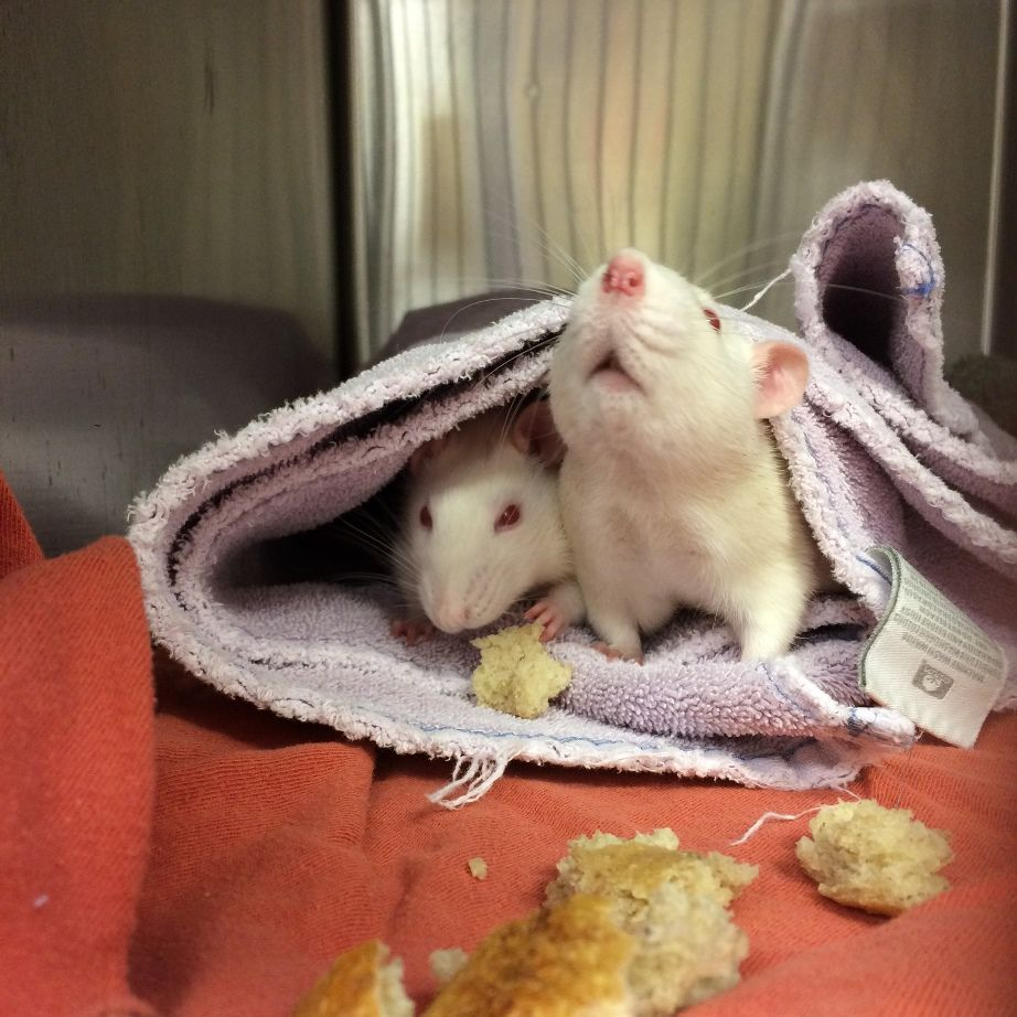 Rat patients eating after surgery!