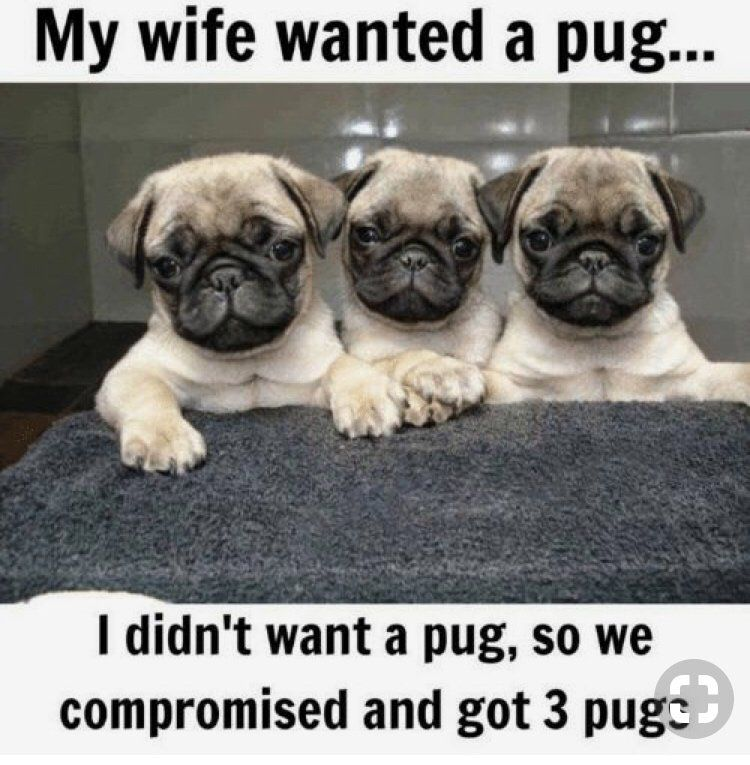 Animal Dump Animals Pug Memes Pugs Pugs Funny