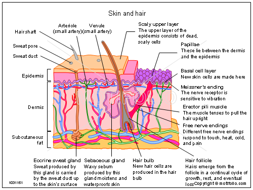 Cross Section Dermis