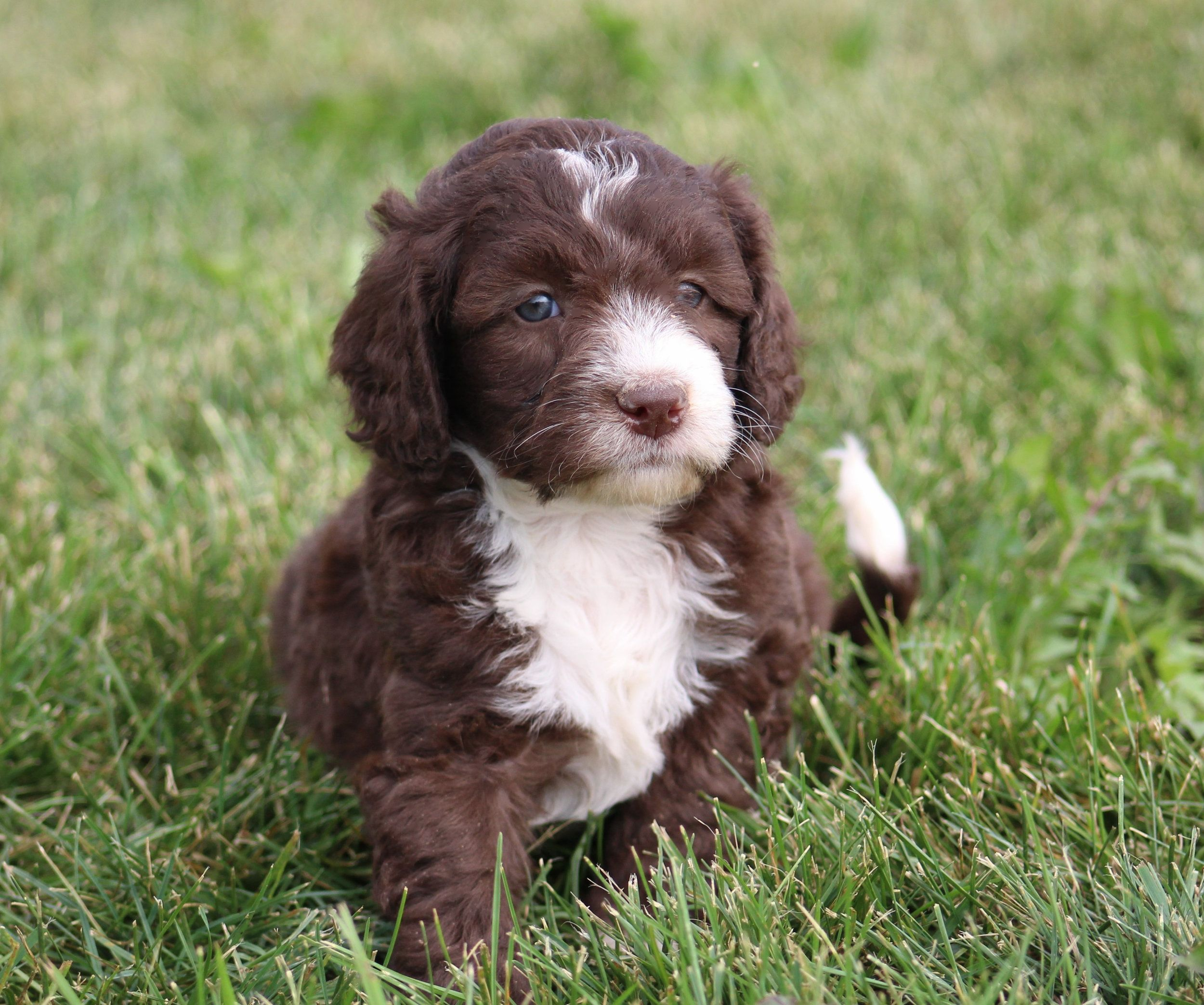 Crockett Doodles Family Raised Doodle Puppies For Sale Crockett Doodles Doodle Puppy Labradoodle