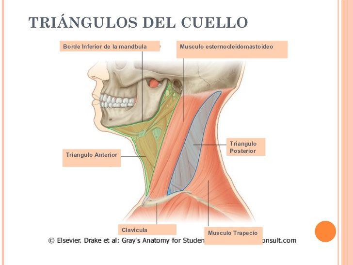 TRIÁNGULOS DEL CUELLO Borde Inferior de la mandbula Musculo ...
