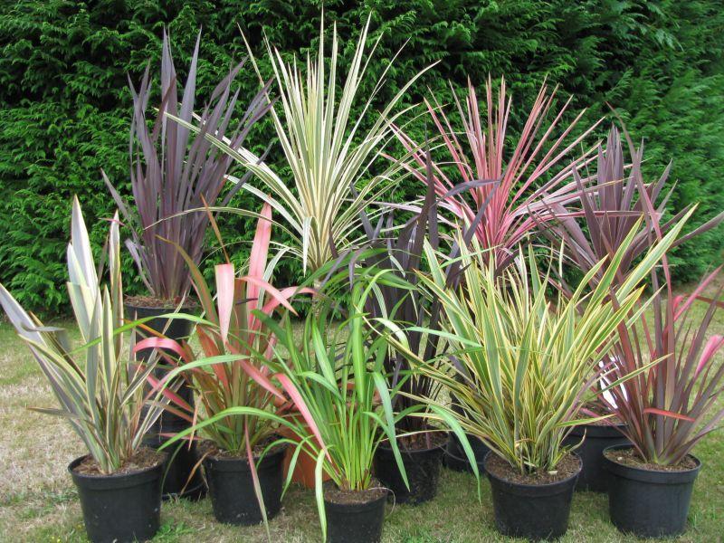 hemerocallidaceae phormiums phormium tenax 39 purpureum 39 39 rainbow. Black Bedroom Furniture Sets. Home Design Ideas
