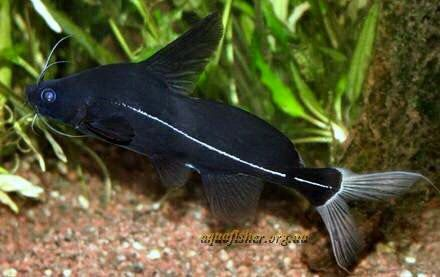Bagrichthys Macracanthus Bleeker 1854 Black Lancer Ocean Fishing Aquarium Fish Aquarium Catfish