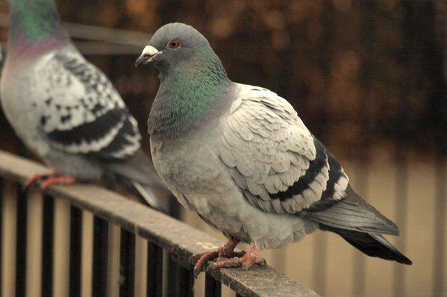a6d801bd2f735773697d81e0f29feaee - How To Get Rid Of Pigeons In My Barn