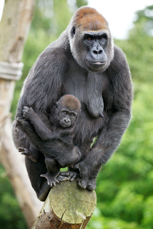 Lena And Kituba At Dublin Zoo Cute Baby Animals Baby Animals Gorilla