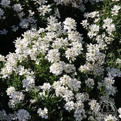 Iberis Sempervirens Candytuft 'Whiteout' Near Alley On 400 x 300