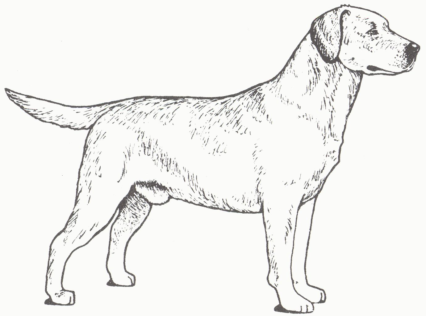 Golden Retriever Coloring Page New Golden Retriever Coloring Pages