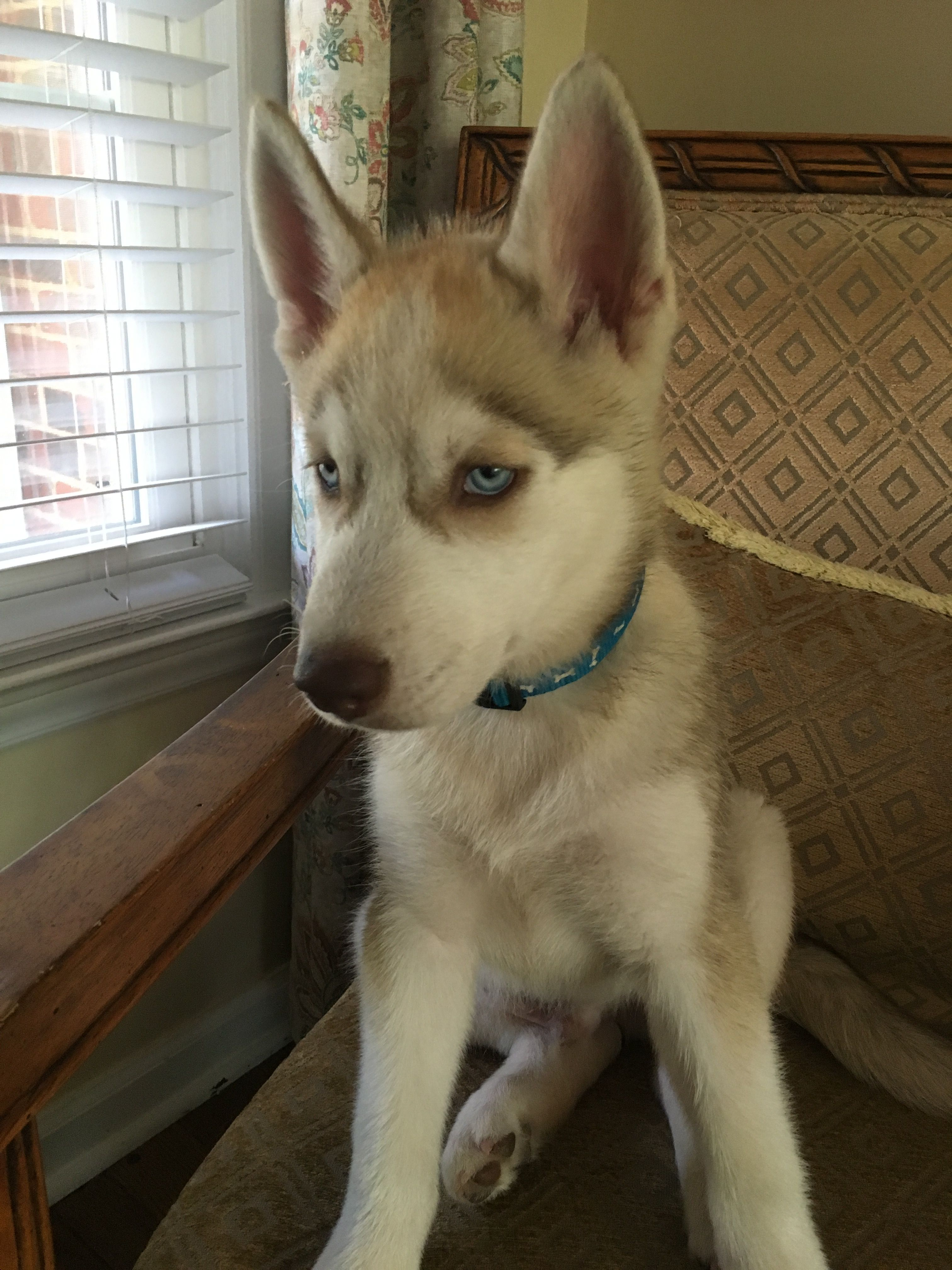 Finley 4 Month Old Husky Tan And White With Blue Eyes White