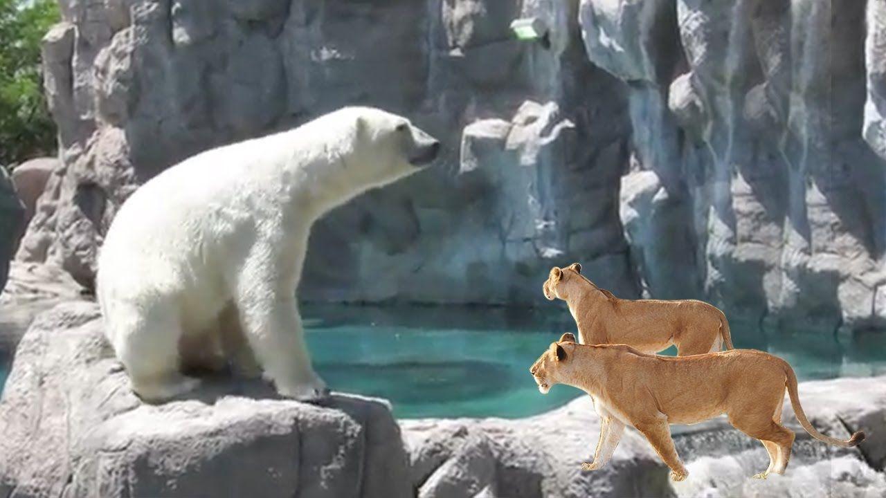 Lion Vs Tiger Real Fight Most Amazing Wild Animal Attacks Polar Bear Wild Animals Attack Animals Animal Attack