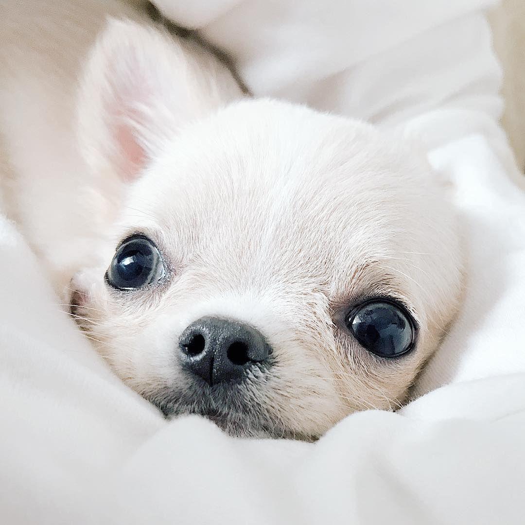 ぽぽ ぽむ On Instagram ベッドルームだと盛れる 2面採光 光だいじ 犬 ちわわ チワワ チワワパピー ロングコートチワワ 愛犬 ちわすたぐらむ いぬすたぐらむ 犬のいる暮らし パピー Dog チワワ 犬 いぬ