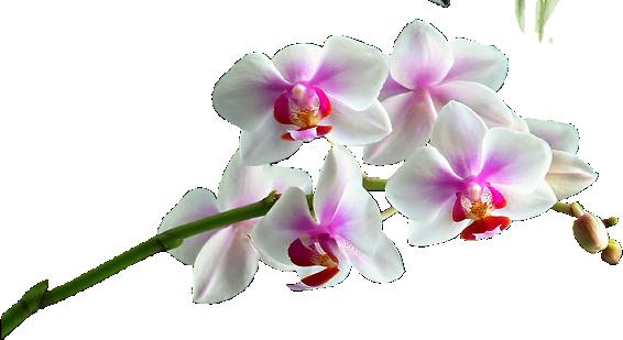 orchidée - Recherche Google | Orchidée | Pinterest | Culture