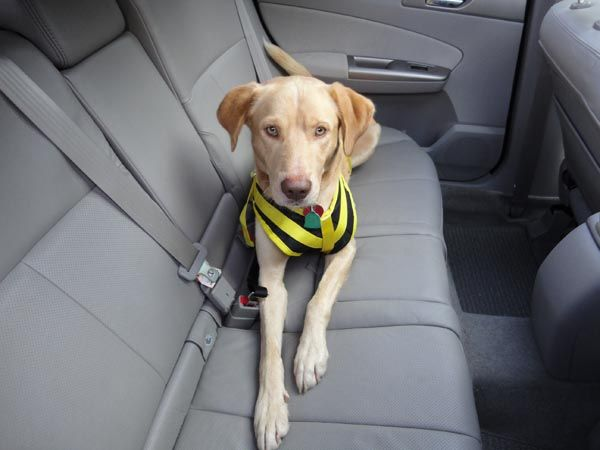 New Year S Day Tips To Keep Your Dog Safe In The Car Dog Safety Dog Wheelchair Dog Seat Belt