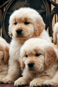 Litter Of 3 Golden Retriever Puppies For Sale In Cranston Ri Adn