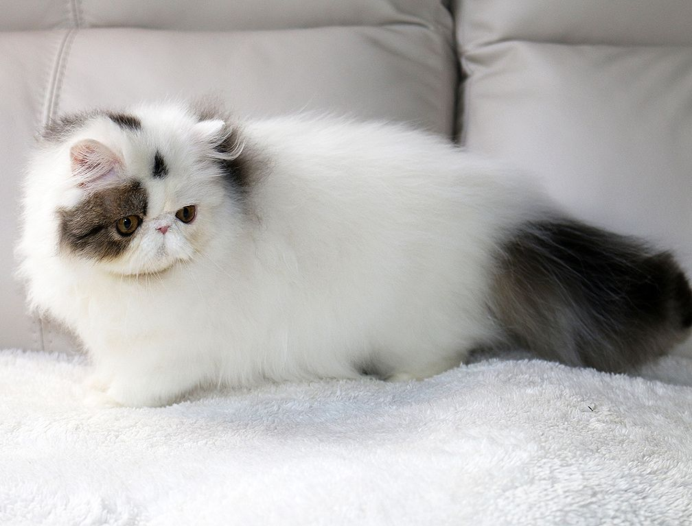 Alfenloch Persian Kittens Ontario Canada And Himalayan Kittens Ontario Canada 2017 Chocolate Kittens Bi Colors Persian Kittens Himalayan Kitten Kittens
