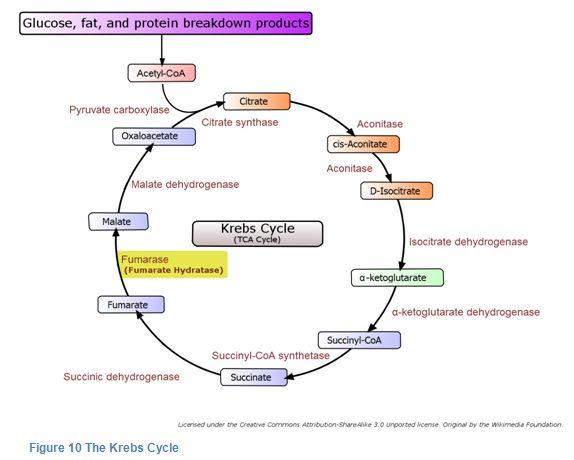 krebs-cycle.jpg (574×460) | Citric Acid Cycle | Pinterest | Citric ...