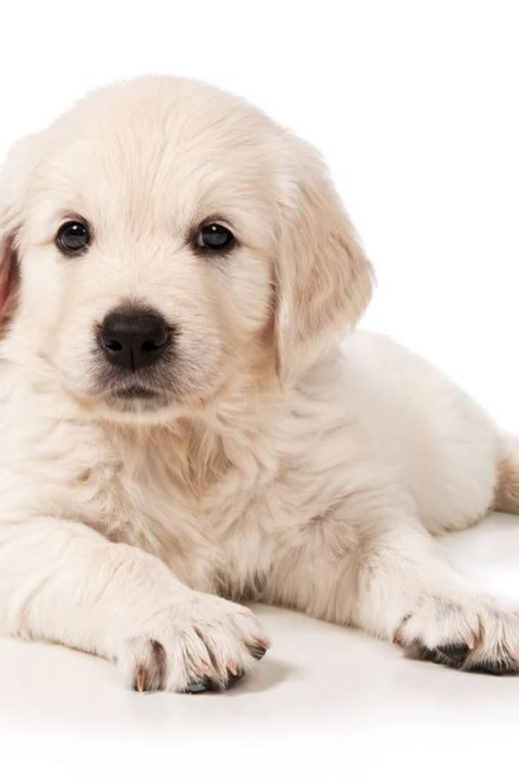 Portrait Of The Puppy Golden Retriever On A White Background Goldenretriever Golden Retriever Retriever Labrador Retriever