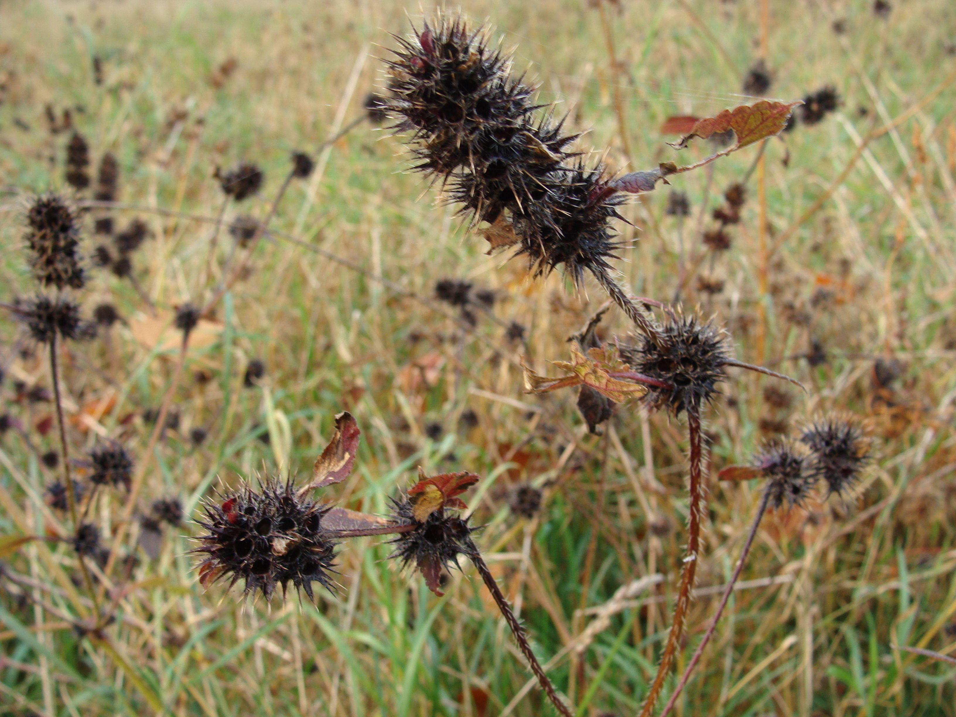 drye flower