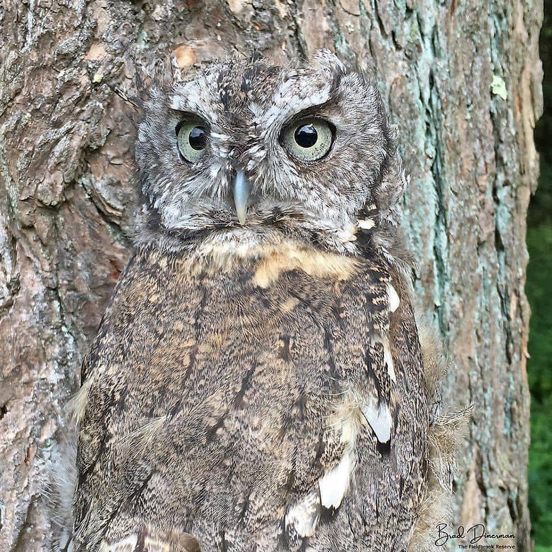 Eastern Screech Owl... in 2020 | Eastern screech owl ...