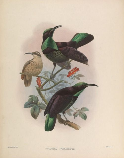 A monograph of the Paradiseidae or birds of paradise. [London]1873.