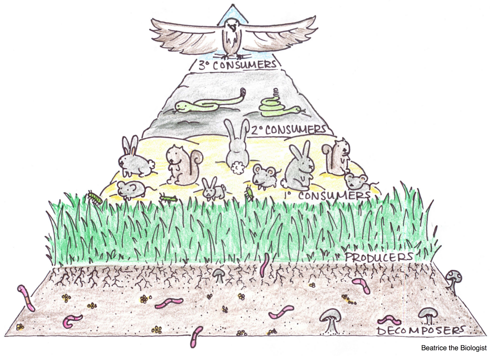 Food Chain Pyramid Trophic Levels Bunnies