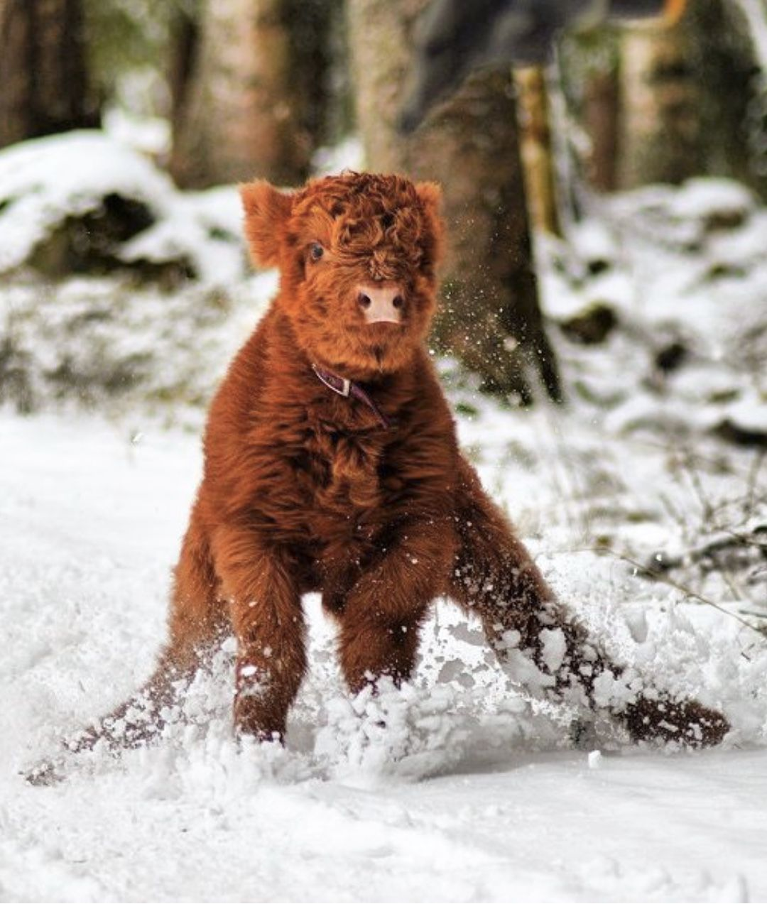 Highland calf Nilo skids to a stop in the snow. He did it ... - photo#37