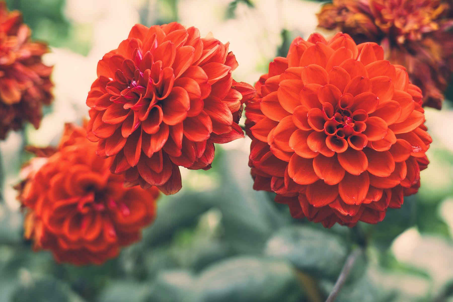 Dahlia Flower Meaning Avas flowers, Flower meanings