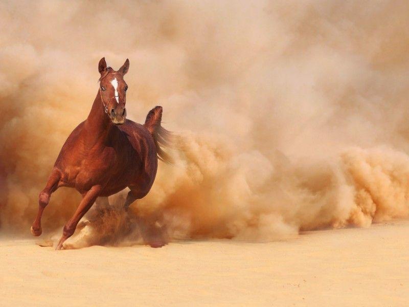 Les Fonds D Ecran Un Pur Sang Arabe Au Galop Dans Le Sable Cheval Photos De Chevaux Fond Ecran Cheval