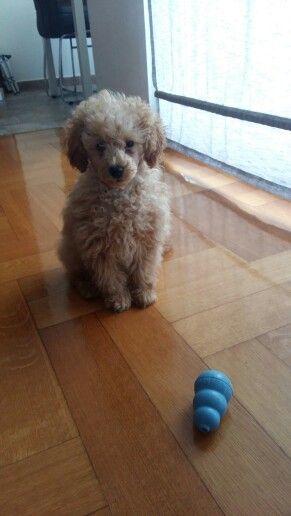 14 Week Old Toy Poodle Toy Poodle