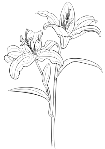 Tiger Lily Coloring Page Free Printable Coloring Pages Flower Drawing Tutorials Lilies Drawing Flower Sketches