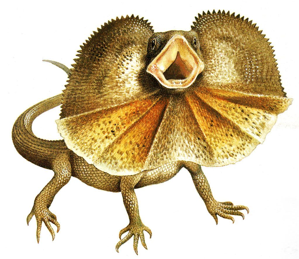 frill necked lizard drawing - Google Search | Frilled ...