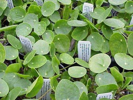 pilea peperomioides h g pannenkoekplant pinterest botanique vert et fleur. Black Bedroom Furniture Sets. Home Design Ideas
