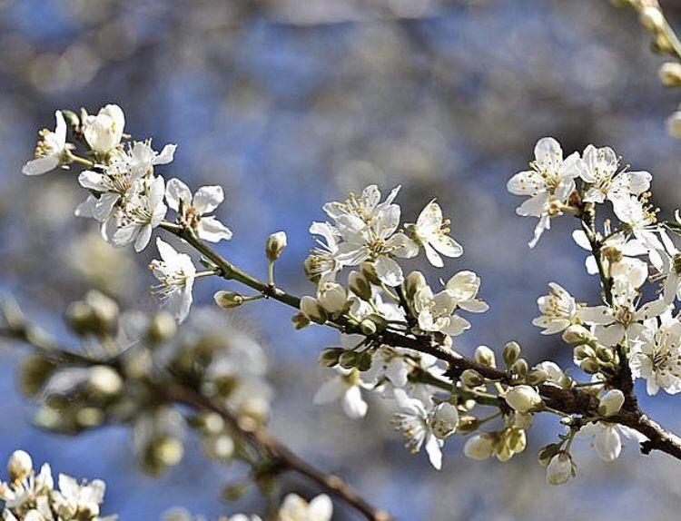 Cherry Blossoms Blossom Trees Plants Tree