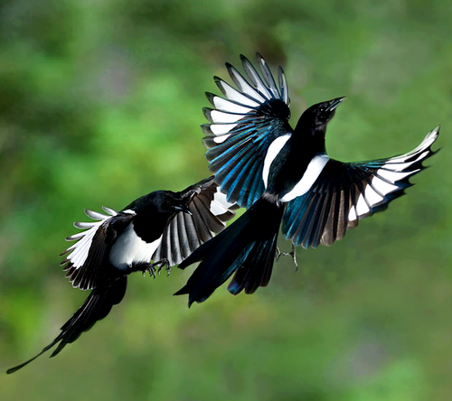 Magpies (pica pica)