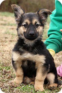 Glastonbury Ct German Shepherd Dog Basset Hound Mix Meet Kosmo