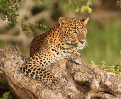 Leopard Safari Camp, Yala National Park, Sri Lanka