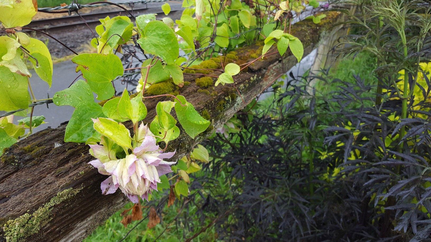 Clematis Belle Of Woking Plants Clematis Garden