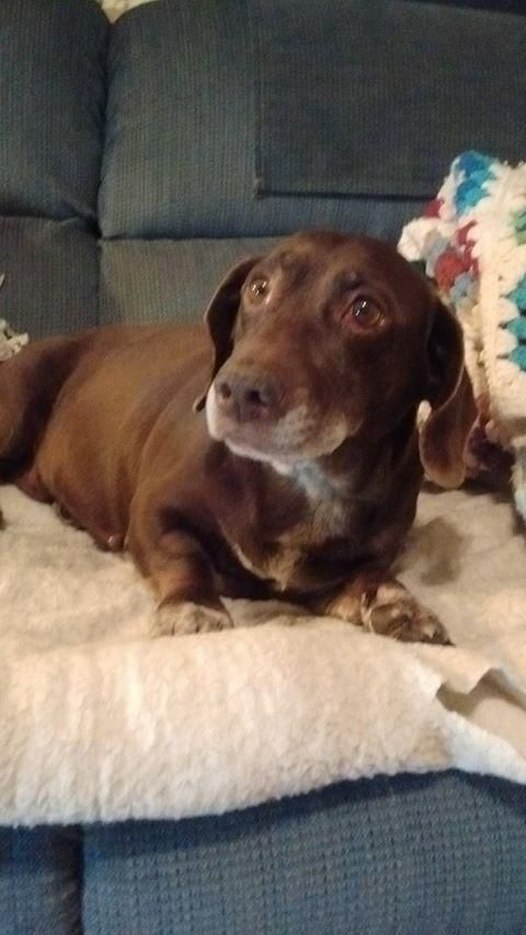 Adopt Thelma On Dachshund Rescue Dogs Dogs